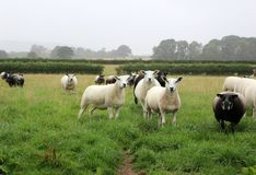 Herd of Sheep. In a Field Stock Photography