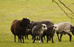 Sheep. Herd of sheep on field Royalty Free Stock Images
