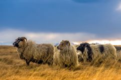 A herd of sheep in a field Stock Images