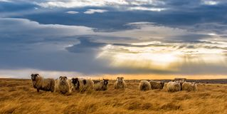 A herd of sheep in a field Stock Photo