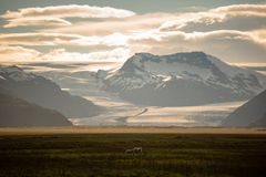 A herd of sheep in a field and Vatnajokull glacier in background ,Iceland Summer. A herd of sheep in a field and Vatnajokull glacier in background ,Iceland royalty free stock photography