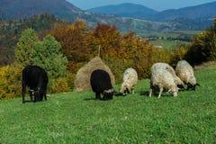 Herd of Sheep Royalty Free Stock Photo