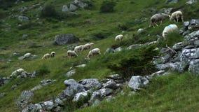 Herd of sheep stock video