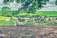Herd of Sheep on Fresh Green Pasture. Herd of sheep with lamb grazing on green pasture at spring. Shropshire in United Kingdom royalty free stock image