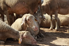 Herd of Sheep. A herd of sheep gathered together Stock Images