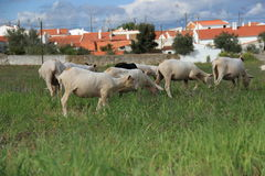 Herd of Sheep Stock Image