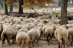 Herd of sheep gathering Stock Photography