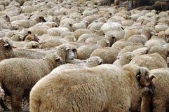 Herd of sheep gathering Stock Image
