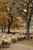 Herd of sheep gathering Royalty Free Stock Photos