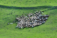 Herd of sheep gathering Stock Image