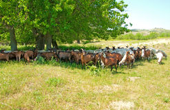 Herd of sheep and goats Stock Image