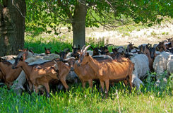 Herd of sheep and goats Stock Photos