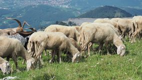 Herd of sheep and goats grazing in the meadows on the Italian Alps. Mountain natural environment stock footage