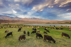 A herd of sheep and goats grazing near the lake at the foot of t Royalty Free Stock Photography