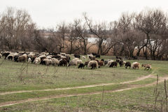 Herd a sheep and goats. Pasture by the rive royalty free stock photography