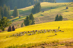 Herd sheep and goats with shepherd moving to another place Royalty Free Stock Photo