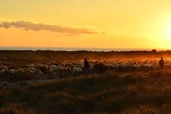 Herd of sheep on grass pasture Almeria Spain royalty free stock photos