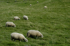 Herd of sheep at the grassland Stock Image
