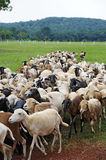 A herd of sheep Royalty Free Stock Images