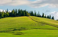 Herd of sheep on grassy meadow. Spruce forest on top of a hill. wonderful sunny autumn weather Royalty Free Stock Images