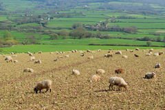Herd of sheep graze on the farmland in Axe Valley Stock Photography