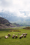 Herd of sheep. Graze on green mountain meadow Royalty Free Stock Photography