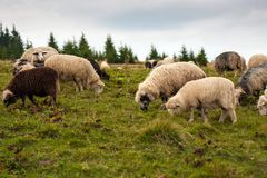 Herd of sheep graze on green pasture in the mountains. royalty free stock photo