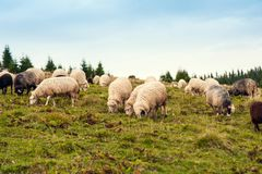 Herd of sheep graze on green pasture in the mountains. royalty free stock photography