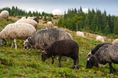 Herd of sheep graze on green pasture in the mountains. stock images