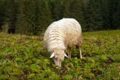 Herd of sheep graze on green pasture in the mountains. stock photography