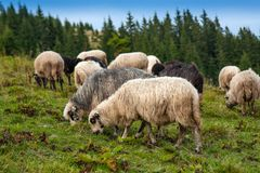 Herd of sheep graze on green pasture in the mountains. royalty free stock photos