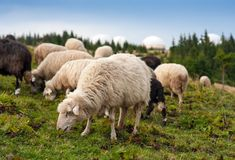 Herd of sheep graze on green pasture in the mountains. stock image