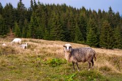 Herd of sheep graze on green pasture in the mountains. royalty free stock images