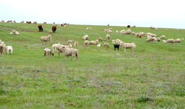 The herd of sheep is grazed in the spring steppe. Kalmykia Royalty Free Stock Photography