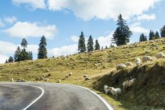 A herd of sheep grazes near the road passing near the slope at the foot of the Carpathian  Mountains in Romania Royalty Free Stock Photography