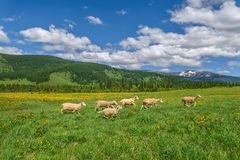 Mountains meadow sheep flowers graze Stock Photography