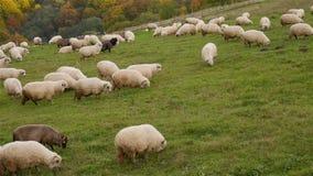 Herd of Sheep Grazing - Autumn Scene stock footage