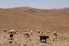 Herd of Sheep. A herd of Sheep grazing the barren landscape near Tafraoute, Morocco Royalty Free Stock Photo