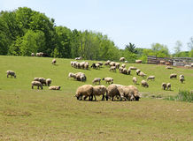 Herd of sheep grazing Royalty Free Stock Photos