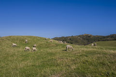 Herd of sheep grazing grass Royalty Free Stock Photo