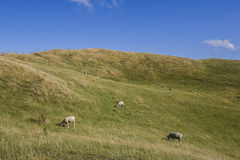 Herd of sheep grazing grass Royalty Free Stock Image