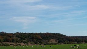 Herd of Sheep. Grazing in a green field Royalty Free Stock Photos
