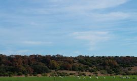 Herd of Sheep. Grazing in a green field Stock Images