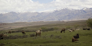 Herd of sheep grazing on the hillside, Kyrgyzstan Royalty Free Stock Photos