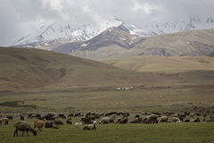 Herd of sheep grazing on the hillside, Kyrgyzstan Stock Photos