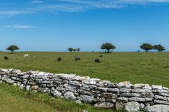 Herd of sheep grazing in a large field at the coast of öland. Herd of black sheep grazing in a large field on a beautiful sunny summer day, with a large rock Stock Photography