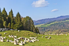 Herd of sheep grazing on lush mountain meadow Stock Photos