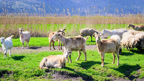 A herd of sheep grazing in the meadow Royalty Free Stock Photo