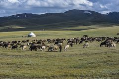 Herd of sheep grazing on meadow with mountain range landscape. View and traditional Kirghiz yurt in the distance royalty free stock photos