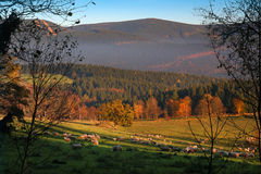 Herd of sheep. Grazing on mountain autumn meadow Royalty Free Stock Images